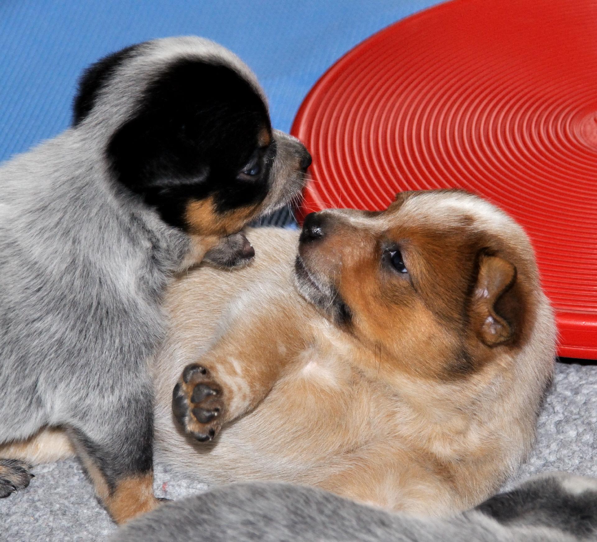 wimmernder hund schmerzen